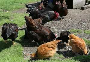 Adding new chickens to the flock can cause problems