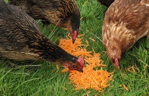 Three of my hens eating grated carrot