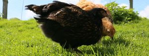 What are the dangers for chickens freer ranging in the backyard
