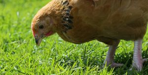 A young buff Sussex chicken foraging free range.