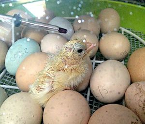 An incubator in use hatching chicks