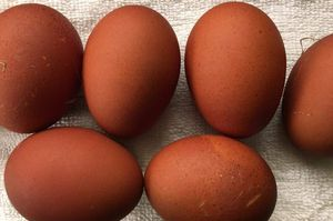 A selection of brown eggs from barnevelder hens