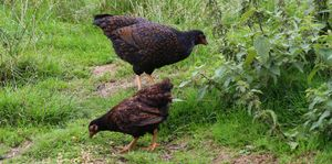 Two young gold double laced barnevelder chicks free ranging on pasture