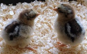 How much do barnevelder chickens cost and where can you get them