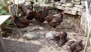 A mixed age flock of chickens basking in the sunshine