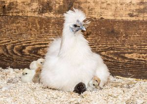 A broody Silkie hen