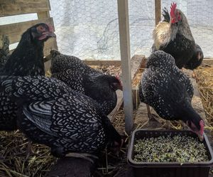 A breeding flock of barnevelder chickens eating sprouted grains