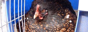 A broody Barnevelder hen sat on a clutch of eggs