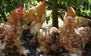 A flock of Pekin hens in the garden