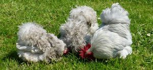 There is an extraordinary number of colours and feather patterns for the Pekin bantam