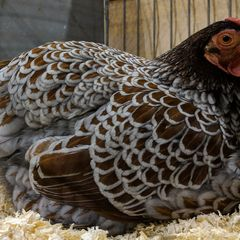 Blue Laced Red Wyandotte hen