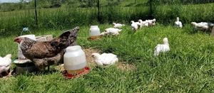 A flock of chickens free ranging on pasture