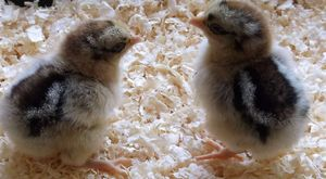 The complete guide to caring for new baby chicks