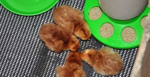 Some day old rhode Island red chicks eating chick starter crumb
