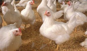 Modern hybrids chickens are carbon copies of eacjh other and benefit from hybrid vigour