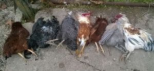 A whole flock of chickens that were killed by a weasel