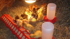 What makes a brooder and how to set one up properly to keep your chicks safe.