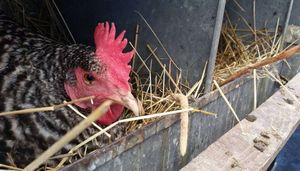 A chickens in a nest box.