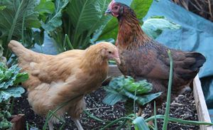A flock of free range chickens that have escaped to a vegetable garden