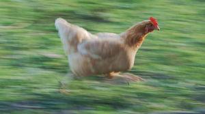 A chicken running across the field.