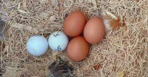 A selection of fake eggs in a nest with some chicken eggs