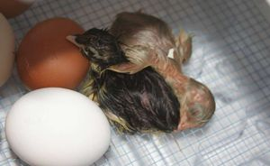 Two just hatched chicks still wet in the incubator