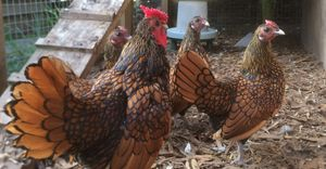 A flock of sebrights. chickens can get fowl pox.