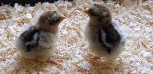 These two chicks are Silve laced Barnevelder bantams