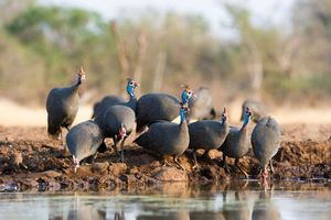 Guinea fowl at a watering hole