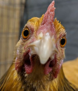 pages, sites and resources that might be of use to chicken keepers