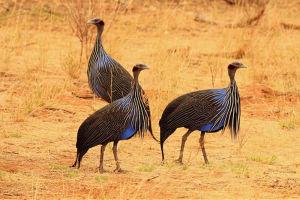 Vulturine Guinea fowl in grassland