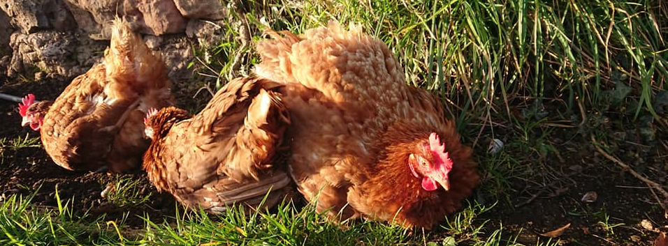 25a6e2d3d Rehoming ex-battery chickens - Cluckin