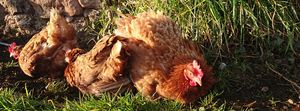 Some of my re-homed ex battery chickens