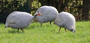 What do you need to know before you get guinea fowl.