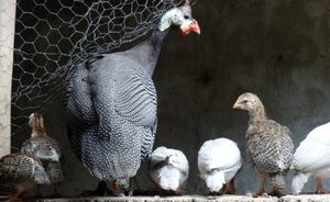 Guinea fowl can be trained to some extent and can become tame eventually.
