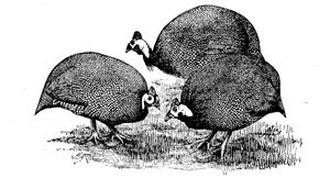 A printed plate of guinea fowl in the wild