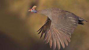 A domestic Guinea fowl in full flight