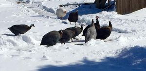 A flock of Guinea fowl out in the snow and ice.