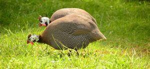 Guinea fowl love to be free range but not everyone can.