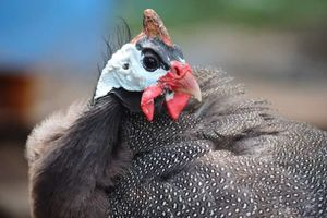 Guinea fowl suffer less disease than other types of poultry but they do get sick.