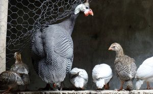 A family of multi coloured guinea fowls