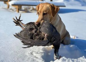 A dog with a dead Guinea fowl.