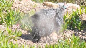 A guinea fowl taking a dust bath to help keep parasites away