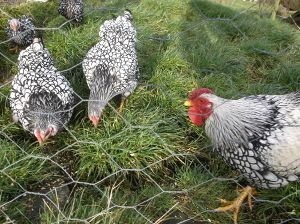 The Ultimate guide to buying chickens - Cluckin