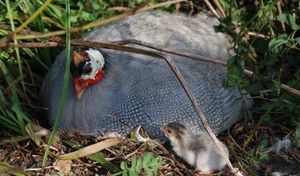 A guinea fowl on her nest with keets.