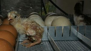 A guinea fowl keet just hatching inside the incubator.