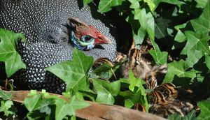 A Guinea hen with a large brood of baby keets.