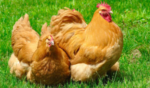 A small flock of Buff Orpington chickens free ranging on grass