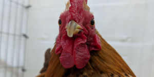 The Serama is a modern breed of chickens from the 1970's.