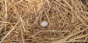An egg in a nest, just what every backyard chicken keeper wants